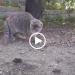 Topo contro gatto: interviene la gallina! [VIDEO]