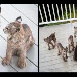 Mamma Lince fa conoscere i suoi 7 cuccioli agli amici umani