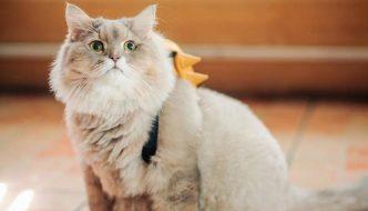 Ecco Bone Bone, il morbidosissimo gatto con cui tutti vogliono una foto