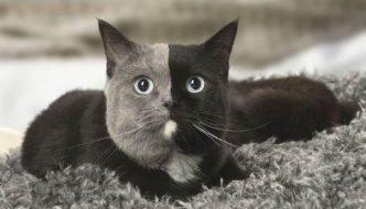 Narnia, la nuova bellissima gatta chimera