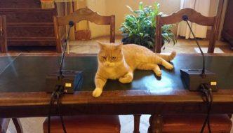 Ecco Gino, il gatto che presiede il consiglio comunale di San Giovanni in Persiceto