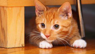 Gatto rosso va a dormire, ma nella cuccia c'è un ospite inaspettato
