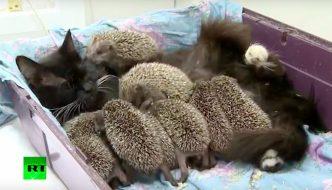 Una gatta fa da mamma a 8 sfortunati ricci orfani