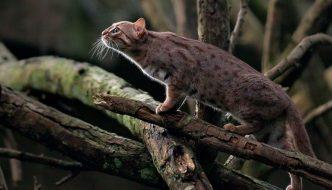 Vi presentiamo il magnifico gatto rugginoso