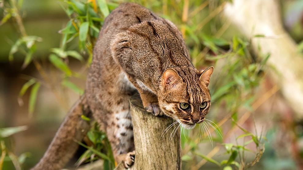 Gatto-rugginoso-4.jpg