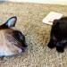 Il gatto Domino che era stato rifiutato da tutti ha trovato una casa